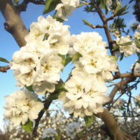 Montoliu de Lleida_Pom de flors_retouch_1920px